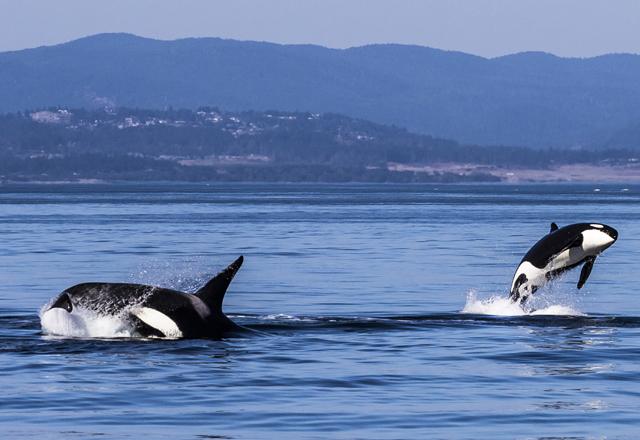 Walbeoachtung bei einer Luxus Reise in Westkanada