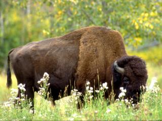 Büffel an einer Blockhütte in Kanada