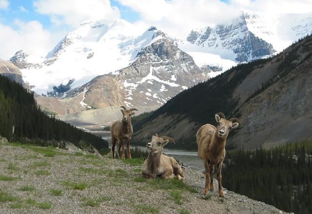 Tiervielfalt in den Bergen der Nationalparks von Westkanada
