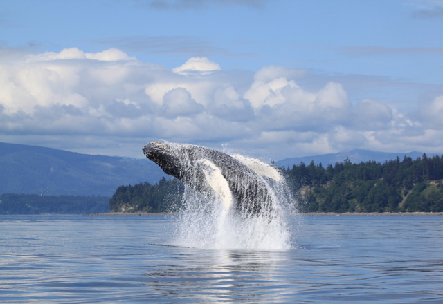 Walbeobachtung in Kanada