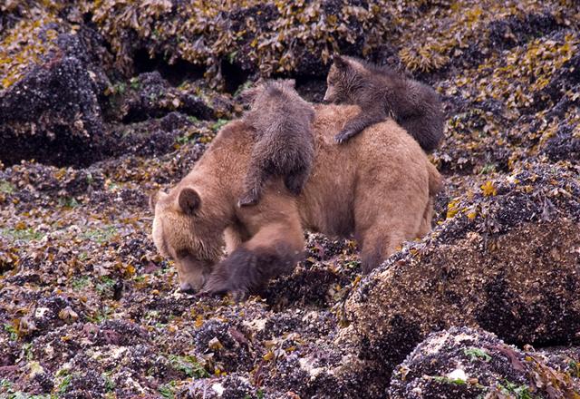 Bären in der Wildnis Westkanada