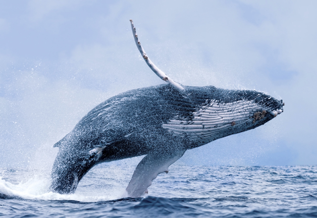 Walbeobachtung in Westkanada