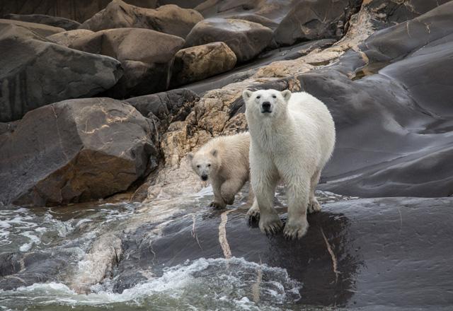 Eisbären in Alaska und dem Yuko entdecken