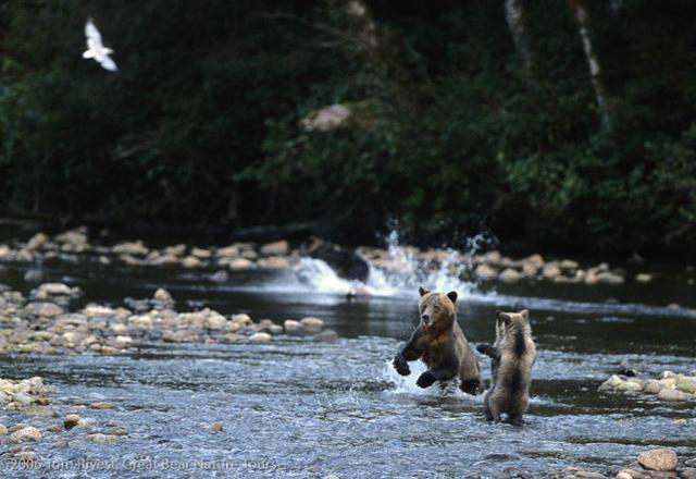 Grizzlybären im Regenwald Kanadas zu beobachten
