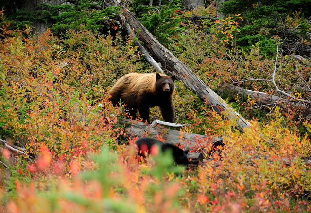 Grizzly Bären in den nationalparks in Westkanada beobachten
