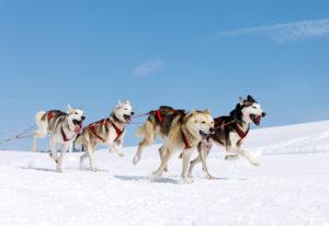 Husky-Wildnis Abenteuer im Yukon