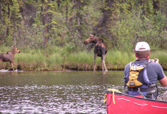 Elche vom Kanu aus beobachten