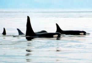 Wale im Pazifik bei Vancouver Island