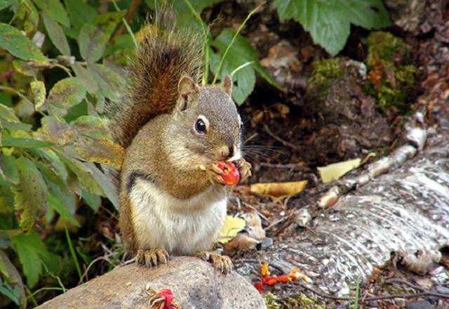 Eichhörnchen Natur Wildnis Kanada