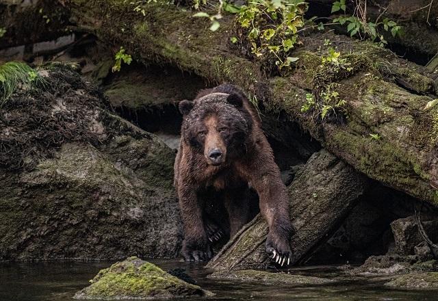 Bärenbeobachtung Canada