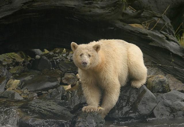 Bärenbeobachtung in British Columbia - Spirit Bear Lodge