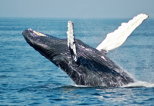 Whalewatching Vancouver Island