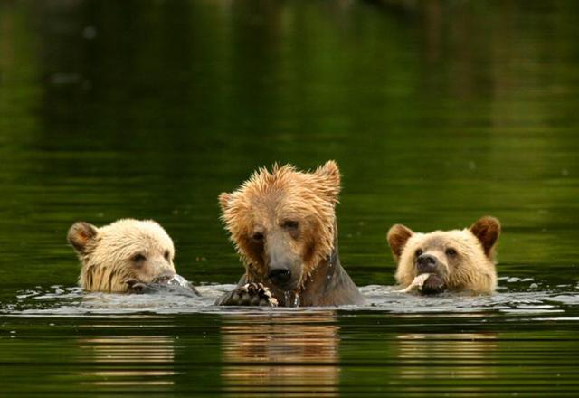 Bären aus nächster Nähe