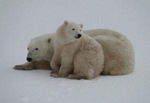 Eisbären in der Hudson Bay - Tiersafari