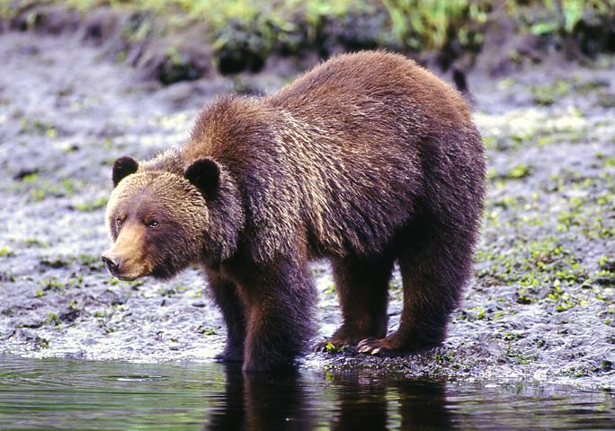 Grizzlybären in ihrem natürlichen Lebensumfeld in Knight Inlet