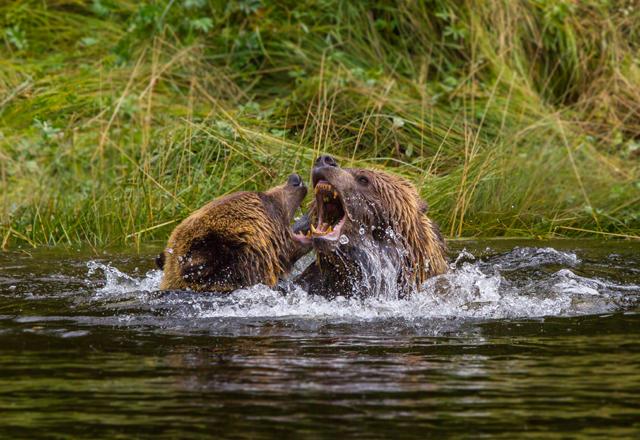 Grizzlys und Schwarzbären im Westen