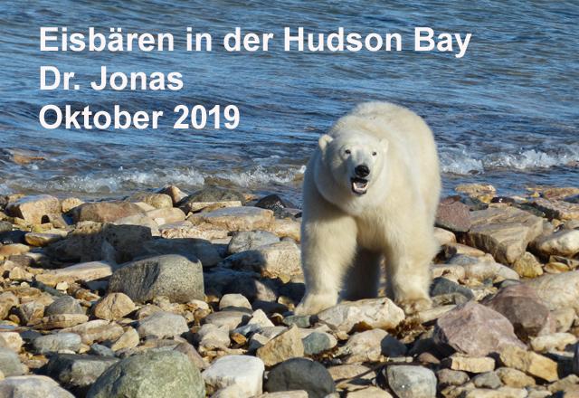 Eisbären in der Hudson Bay