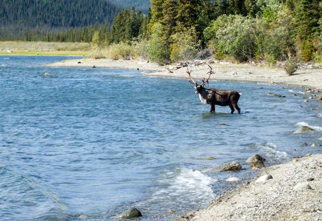 Elch im Yukon