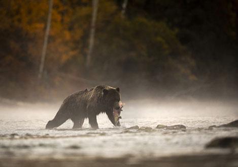 Grizzly Bären auf Lachsfang in Kanada