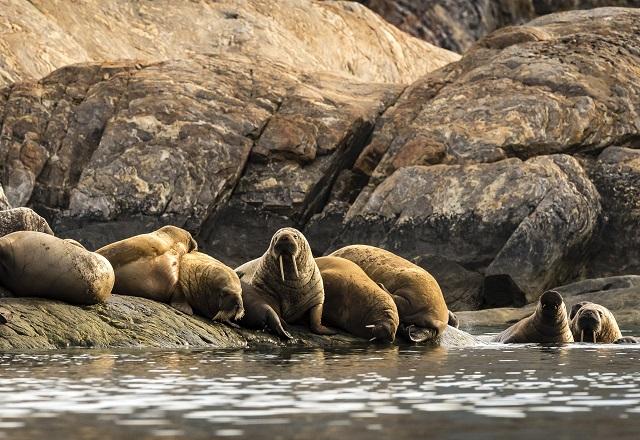 Walross Grönland